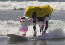 Adventure Cow surfing at Pismo Beach